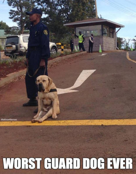Beware Of These Adorable Dogs On Guard Duty (25 pics)