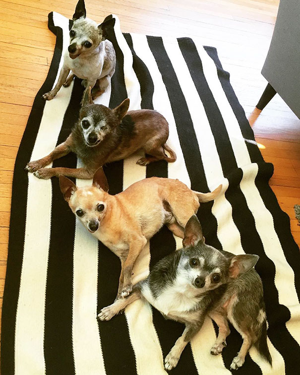 These Old Toothless Chihuahuas All Live In The Same Happy Home (11 pics)