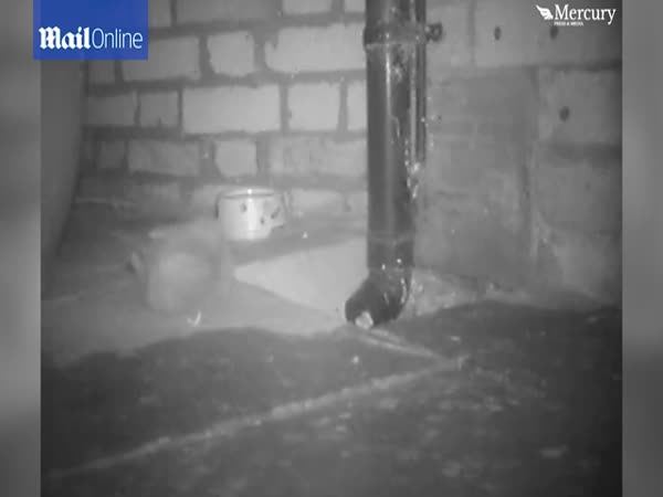 Hilarious Moment A Hedgehog Topples Backwards Into A Drain