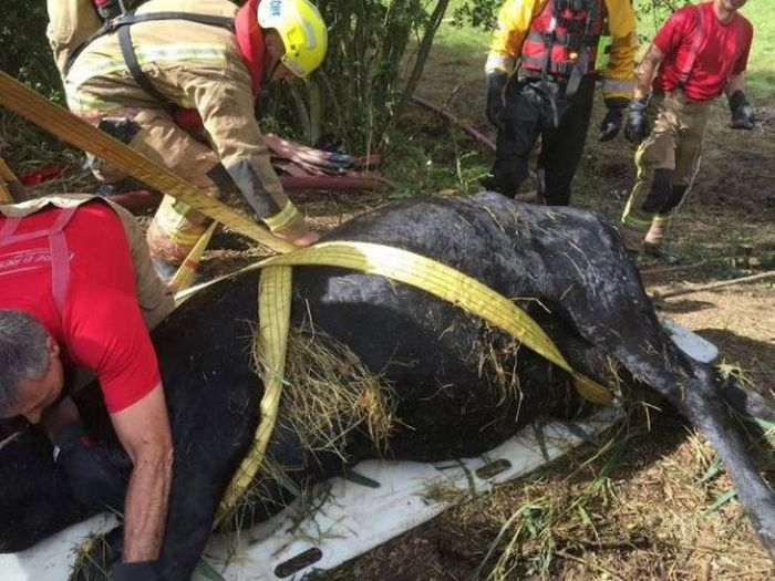 Cow Gets Rescued After An Adventure In The River (6 pics)