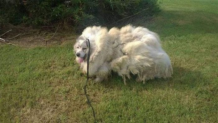 Dog Found Trapped in Barn Gets The Haircut It Deserves (8 pics)