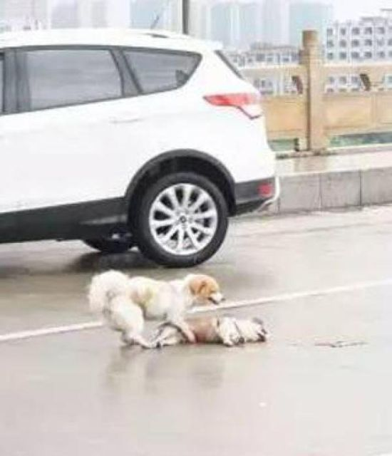 Heartbreaking Photo Shows Dog Guarding Friend After A Car Accident (2 pics)