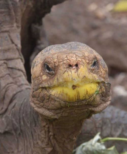 Diego The Tortoise Has Saved His Entire Species (4 pics)