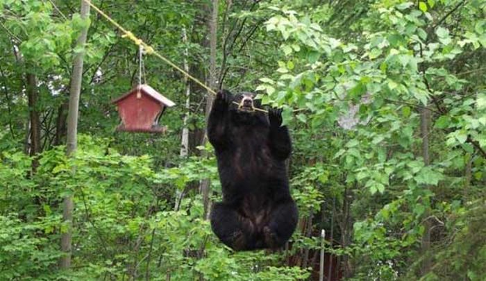 Bear Shows Off His Spectacular Climbing Skills (4 pics)