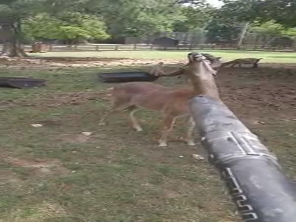 OMG A Deer Just Begging To Get Blower Away