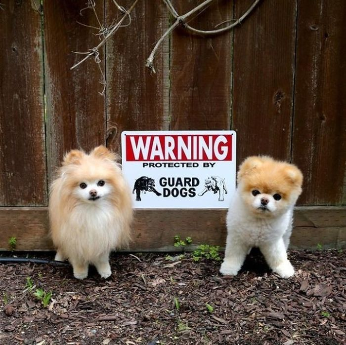 Dangerous Dogs That Will Terrify You (35 pics)