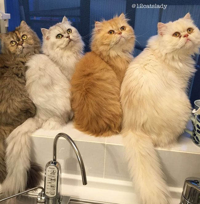 12 Cats Lady Is Becoming An Internet Sensation (17 pics)