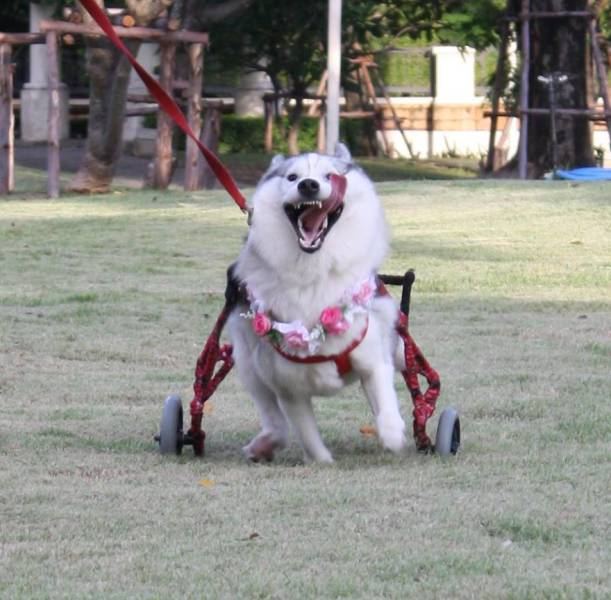 This Dog Was Born Without Paws But She's Still Happy (14 pics)