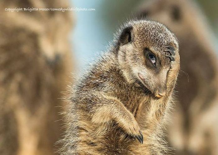 All The Best Entries From The Comedy Wildlife Photography Awards 2016 (44 pics)