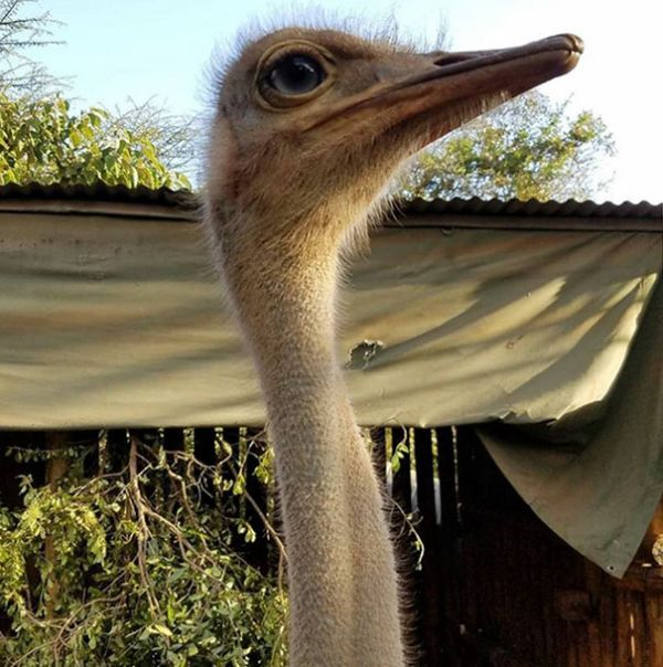 Ostrich Snuggles Orphaned Elephants Who Have Lost Their Moms (6 pics)