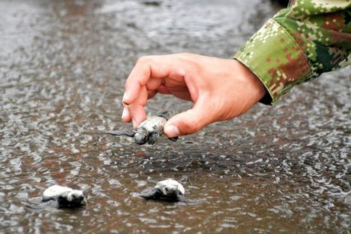 Hundreds Of Turtles Rescued By The Colombian Navy (7 pics)