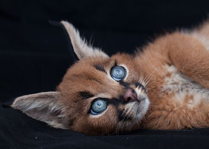 This Might Be The Cutest Cat Species Ever (20 pics)