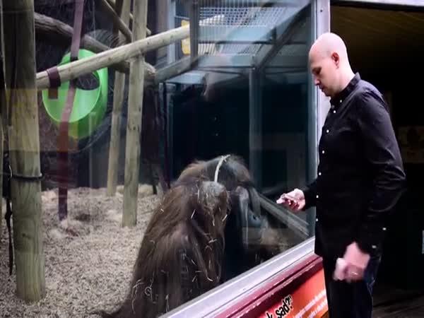 Magic Trick For Orangutan