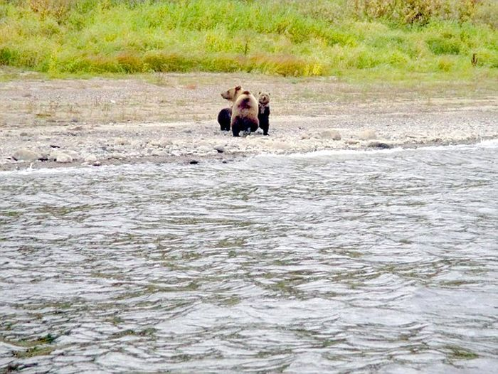 The Moment When A Bear Mother Abandoned Her Cubs (4 pics)
