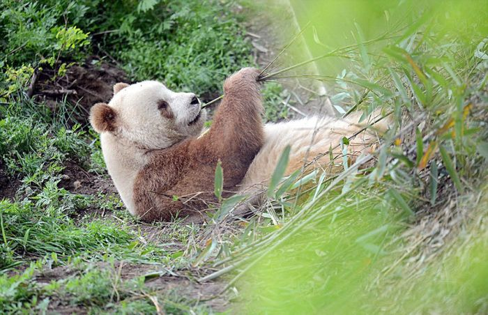 The World's Only Brown Panda Is Becoming A Celebrity (10 pics)
