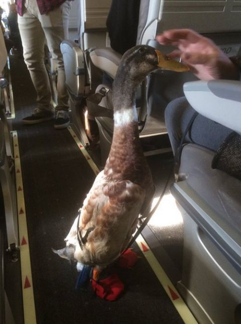 Guy Brings Adorable Emotional Support Duck On A Plane (3 pics)