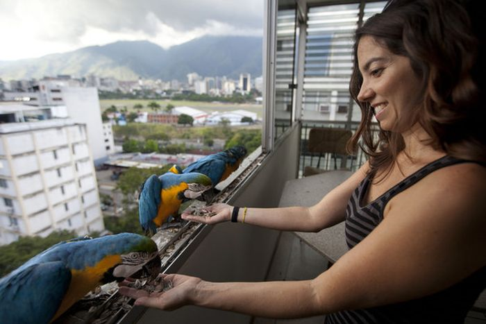 In Venezuela Parrots Are As Common A Pigeons (6 pics)