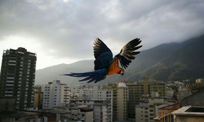 In Venezuela Parrots Are As Common A Pigeons (6 pics)