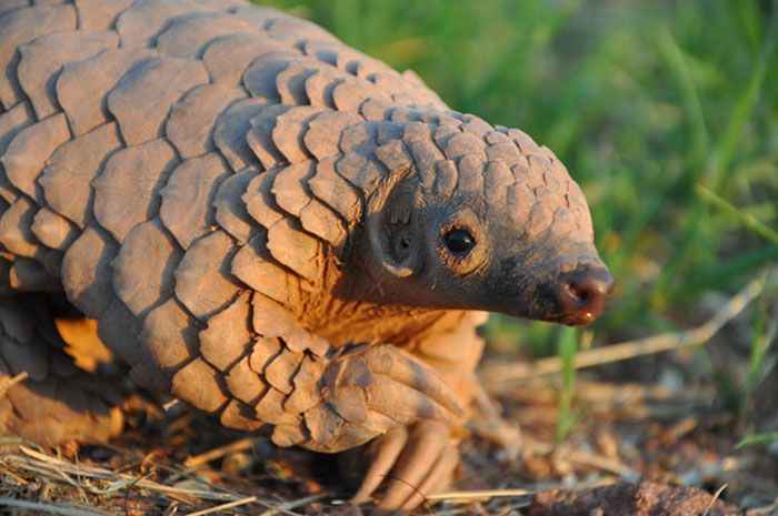 Baby Pangolins Are Undeniably Cute (30 pics)