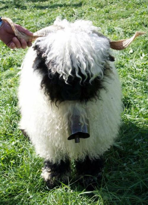 People Can't Figure Out If These Sheep Are Cute Or Creepy (13 pics)