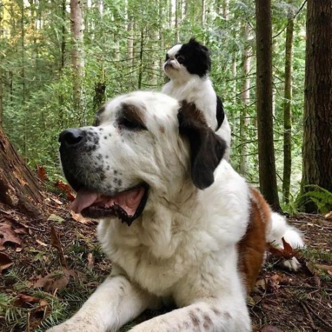 Big Dog Loves Carrying His Little Friend On His Back (9 pics)