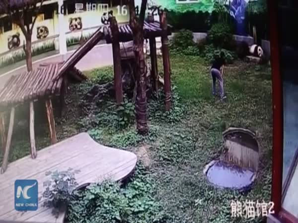 Man Jumps Into Panda Den Gets Attacked By Giant Panda