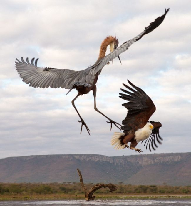 Eagle Engages In An Epic Battle With A Heron (7 pics)