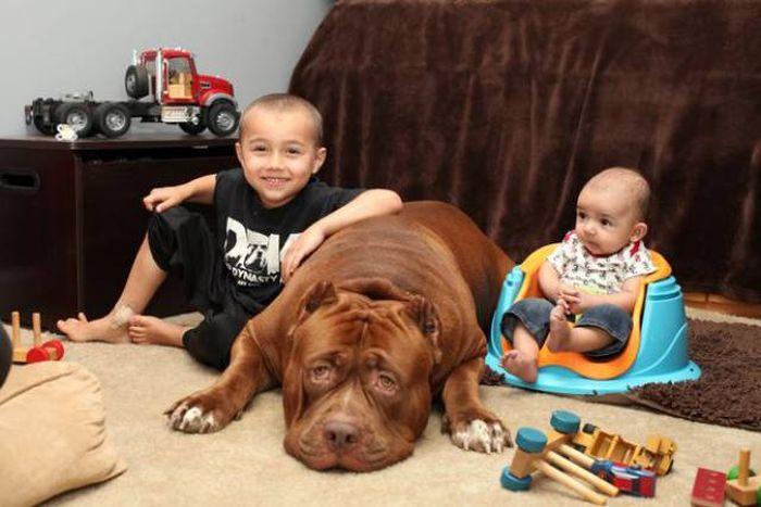 Big Pitbull Loves To Babysit This Newborn (12 pics)
