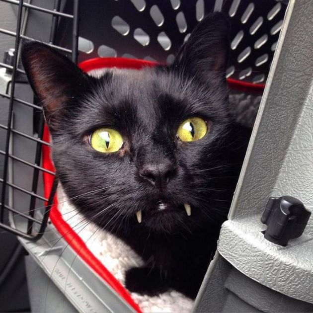 Woman Finds Out Her Rescue Cat Is Actually A Vampire (10 pics)