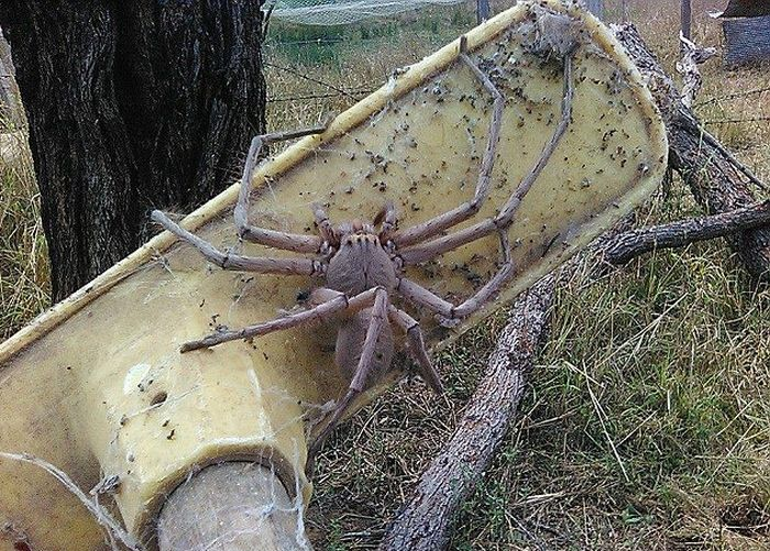 Giant Huntsman Spider May Be The Biggest Ever Photographed (2 pics)