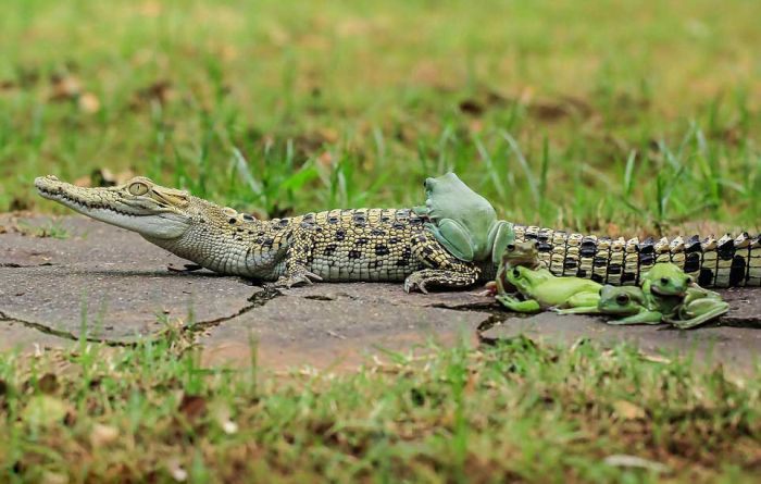 Frogs Catch A Ride On A Caiman's Back (8 pics)