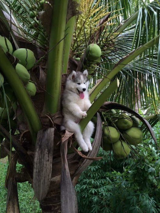 This Husky Got Stuck In A Tree And The Internet Had A Field Day (30 pics)