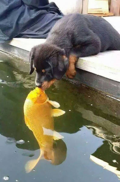 Photo Of A Puppy Kissing A Koi Fish Ignites A Photoshop Battle (19 pics)