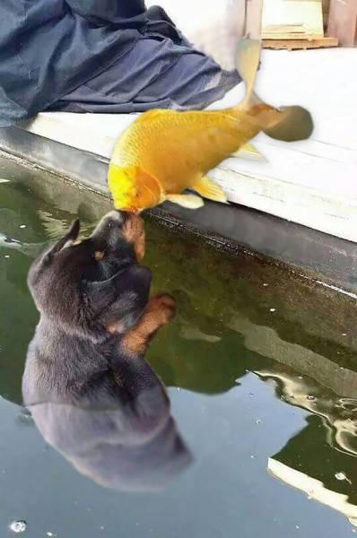 Photo Of A Puppy Kissing A Koi Fish Ignites A Photoshop Battle (19 pics)
