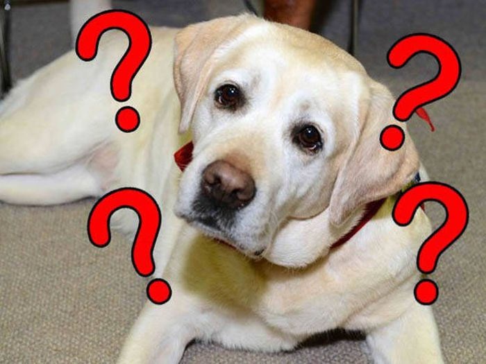 This Confused Labrador Is The Strangest Dog Ever (4 pics)