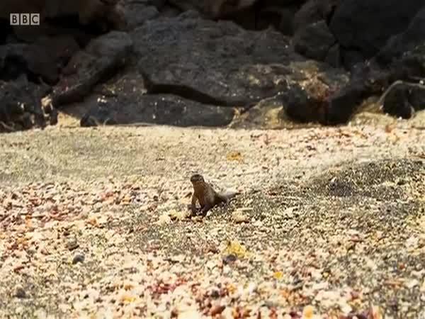 Snakes Chasing Baby Iguana