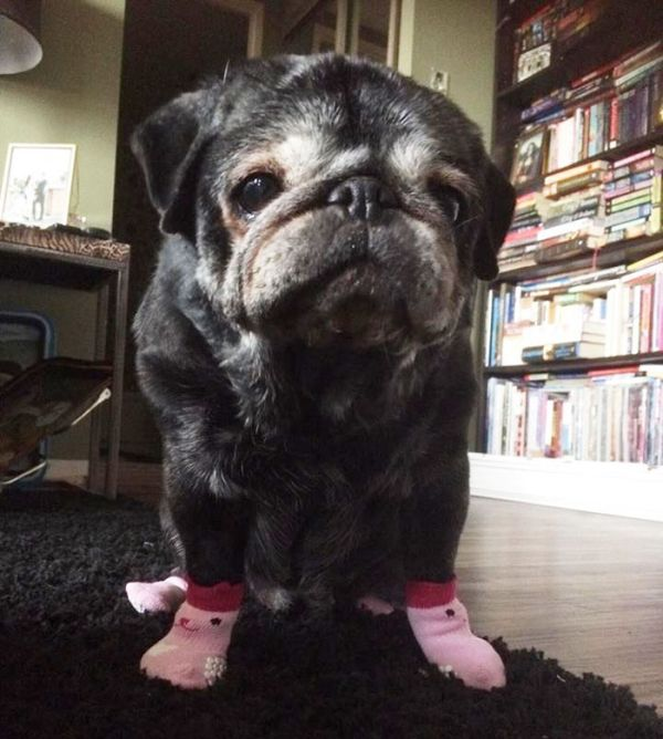 Pug's Life Is Changed Forever After She Gets Some Adorable Socks (5 pics)