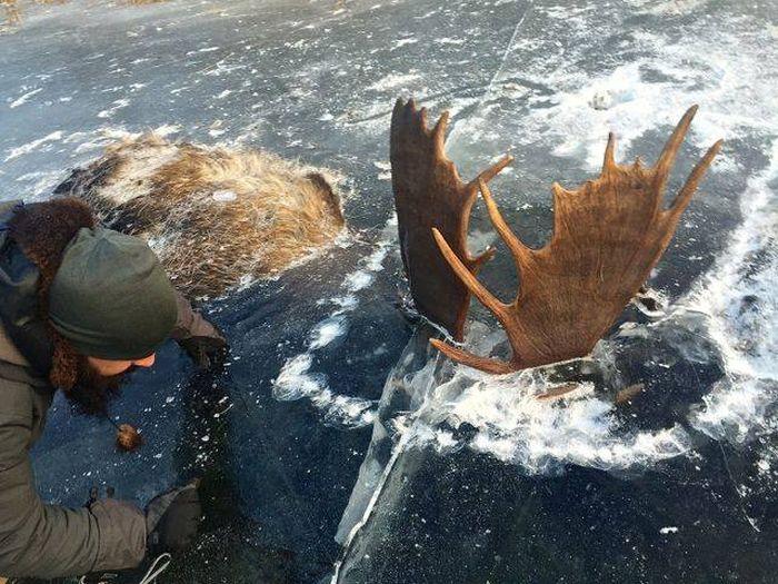 Moose Gets Stuck In A River (4 pics)