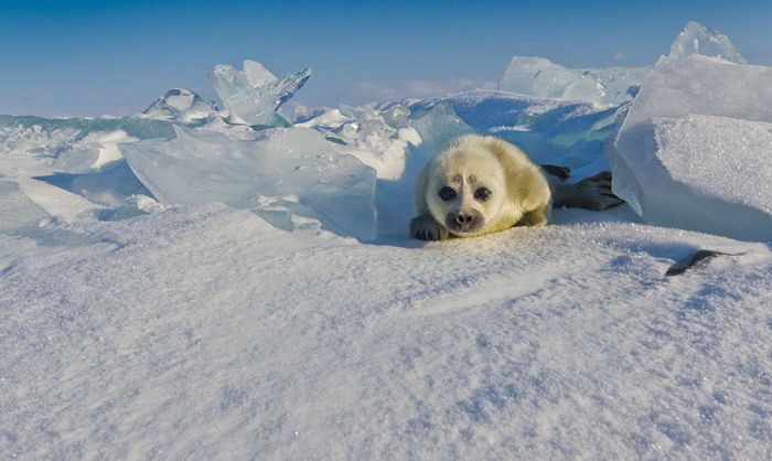 Photographer Finally Meets The Perfect Seal Pup After Three Years (8 pics)