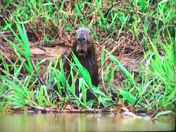 Surprised Capybara