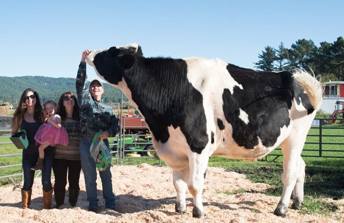 The World's Biggest Bovine Has To Drink 100 Gallons Of Water A Day (8 pics)