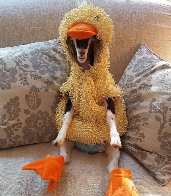 Goat Suffering From Anxiety Loves Her Duck Costume (6 pics)