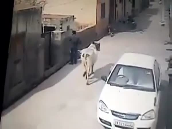 Man Is Assaulted By Cow With Bad Attitude