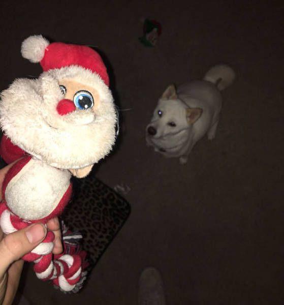 Santa Loving Dog Has Hilarious Reaction When She Meets Santa (10 pics)