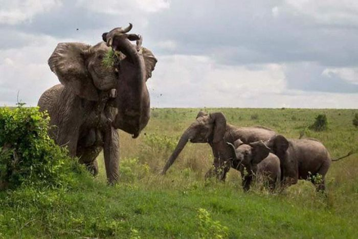 Elephant Mom Stands Up For Her Kids (4 pics)