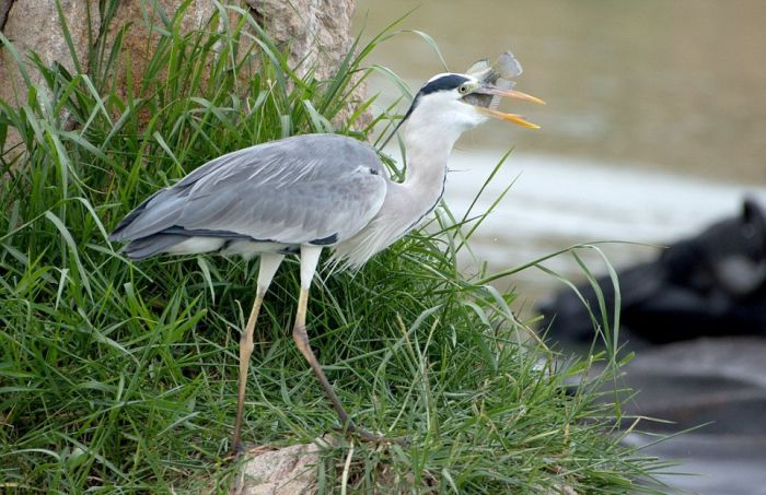 Heron Wrestles Lunch Away From A Snake (9 pics)