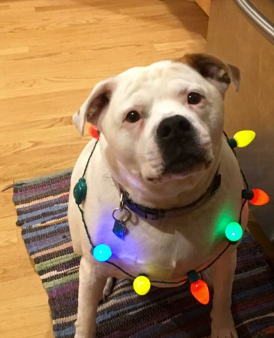 Funny Pictures Of Dogs Getting Into The Holiday Spirit (20 pics)