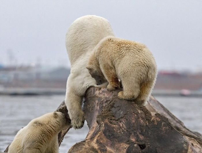 Polar Bears Find The Remains Of A Dead Whale In Alaska (6 pics)