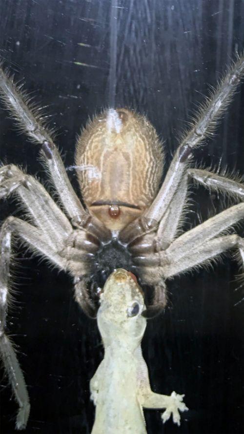 Big Spider Hunts Down A Gecko (2 pics)