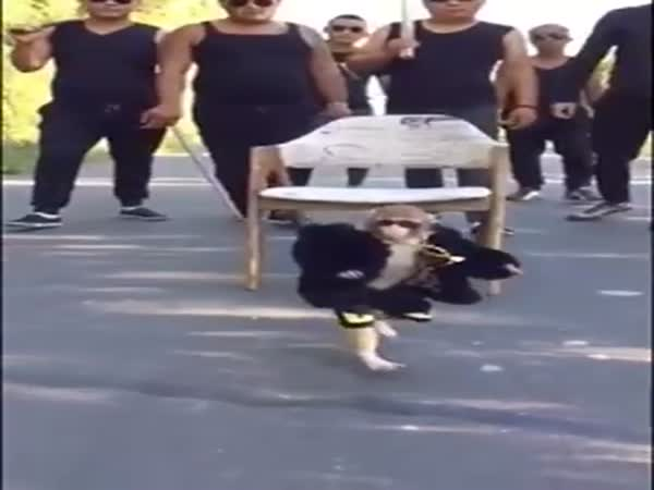 Hilarious Little Monkey Is The Biggest Pimp Youll See Today
